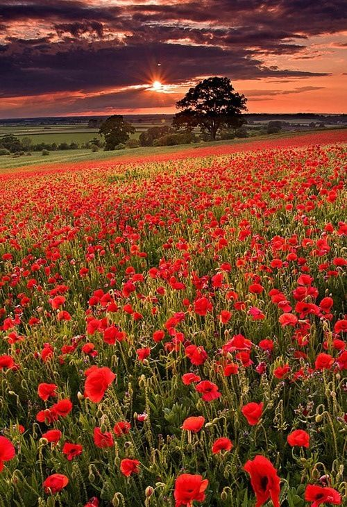 Poppy Field Sunset, Oxfordshire, England (Would love to see this)