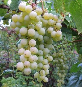 Vitis 'Jokke', Vinranka. Nyhet! Gröna medelstora vindruvor  Odlas helst i växthus eller täcks utomhus på varm plats.  Mognar sent.