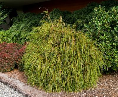 Thuja plicata 'Whipcord' Whipcord Western Red Cedar -They have this at Andersons and I want one!