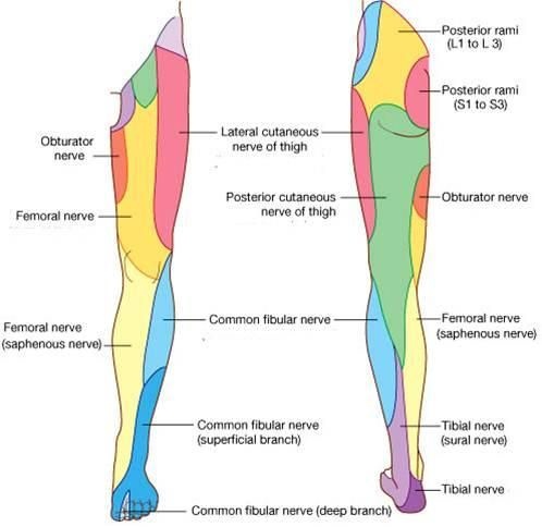 28 best physical therapy - nerves images on pinterest | physical, Muscles