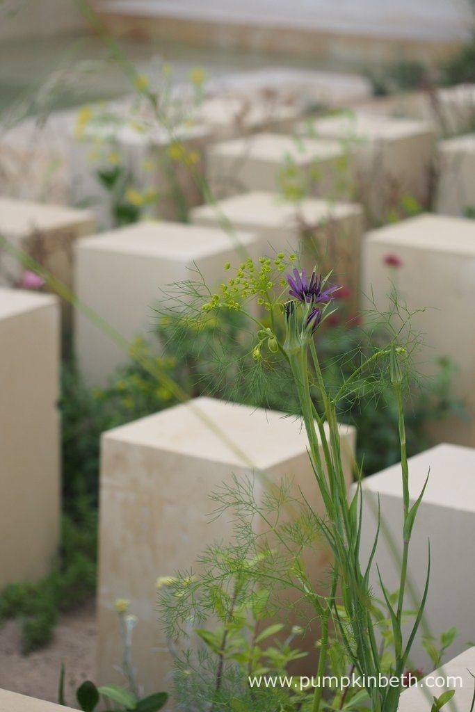 A closer look at the Maltese wildflowers pictured in the M&G Garden, which was designed by James Basson, for the RHS Chelsea Flower Show 2017. This Show Garden was built by Crocus.