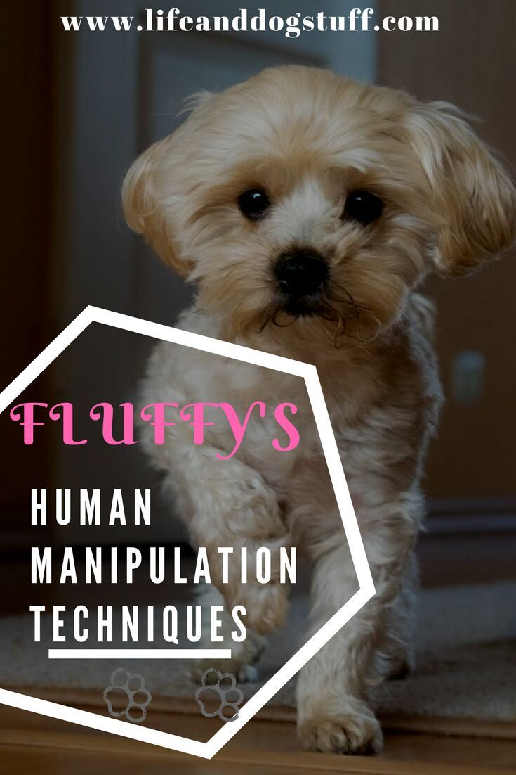 Fluffy's Human Manipulation Techniques! Fluffy shares some manipulation tactics on how dogs can control their humans better. #humor #dogs