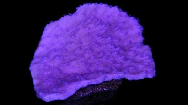 Buy Vivid's Ultimate Purple Montipora Capricornus Coral Online | Saltwater Aquarium Fish and Coral | Vivid Aquariums