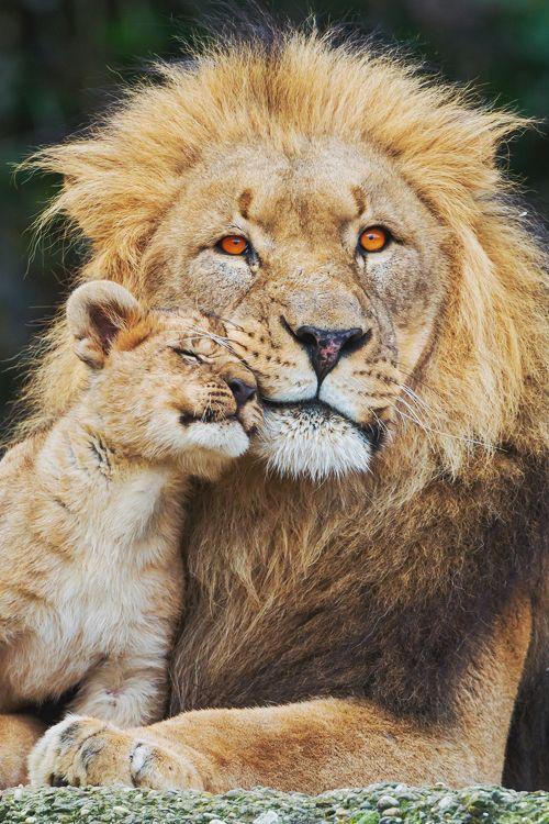 imposingtrends:  Cub loving his dad | ImposingTrends | Facebook...