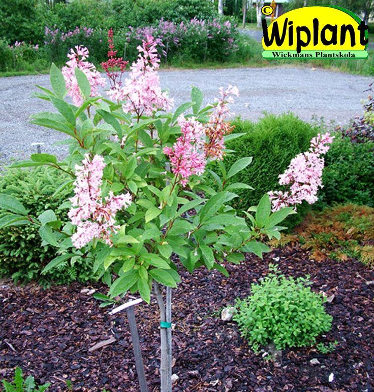 Syringa 'McFarlane', prestonsyren. Finns både som buske och stamsyren. Ljusrosa, rikblommande, lite senare. Höjd: 2-2,5 m.