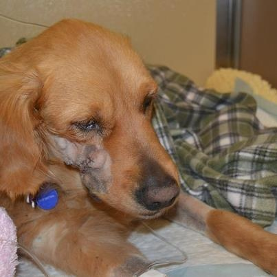 Sunflower - 5 yrs was an owner surrender to a shelter. She had a large tumor on her lip that required suregery which she had on April 1st and is in recovery. The rescue is waiting for the pathology report. She is at Arizona Golden Retreiver Rescue. Read: http://www.facebook.com/azgrc