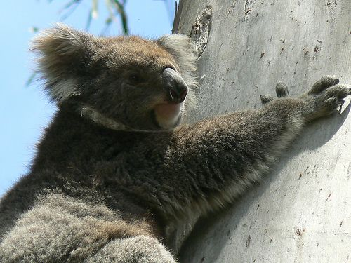 "This Wild And Free Koala Says ""Leave Me Alone!"" 