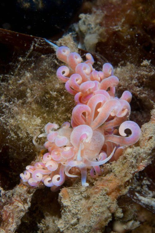 Phyllodesmium poindimiei, an aolid nudibranch (by Chris Cunnold)