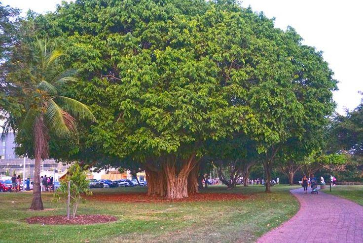Big old trees, Bicentennial Park Darwin Northern Territory  Australia from http://togetherweroam.com/darwin-with-kids-city-guide/