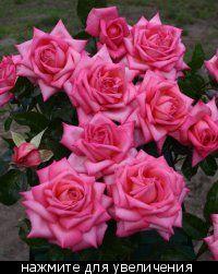 Розы европейских питомников, и ВСЁ ВСЁ ВСЁ остальное!!!!!!!! :: Сибмама - о беременности, детях и о семейной жизни