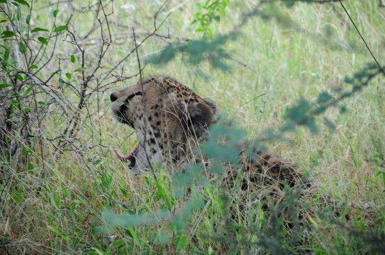Cheetah Conservation Africa Volunteer Adventure - take a look at www.africavolunteeradventures.com for more
