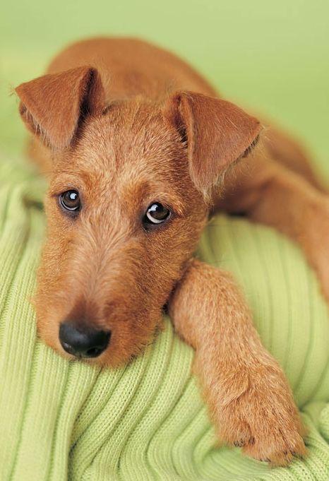 53. Terrier Irlandés | Les encanta la gente y suelen ser amigables con los…