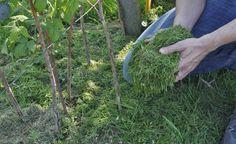 Rasenschnitt lässt sich gut zum Mulchen von Himbeeren verwenden