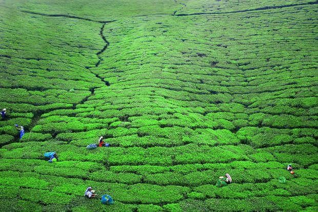 Plantation de thé près de Nuwara EliyaDes montagnes et des jungles, des plantations de thé, desplages de sable doré baignées par des eaux turquoise, des vestiges archéologiques passionnants... Bienvenue au Sri Lanka ! Cette île, située à la pointe sud de l'Inde, a retrouvé le sourire après des années deguerre civile et le passage du tsunami en 2004. Une destination à découvrir à travers les photos de Pascal Mannaerts, dont le travail est présenté sur son site Parchemins d'ailleurs.