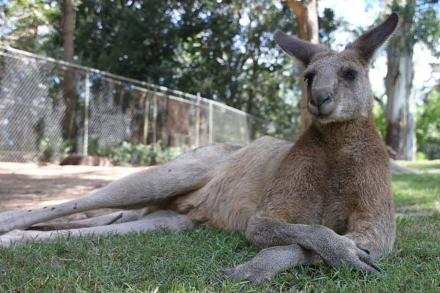 Chillin' with the Roo's @ Lone Pine, Qld, Australia