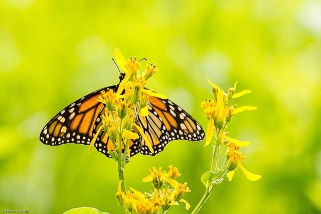 12 best images about 6th grade Science on Pinterest Duke, Monarch