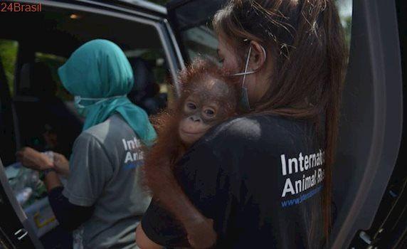Bebê orangotango é salvo de se tornar animal doméstico