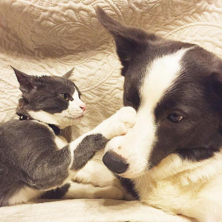 "yurin555: ""マテ  毎日のハムハムでボッサボサ  #猫 #ネコ #ねこ #犬 #いぬ #cat #dog #catdog #instacat #instadog #ilovecats #ilovedogs #instapet #instameow #instadoggy #bestmeow #bestwoof #cats_of_instagram #dogs_of_instagram #pet_of_instagram #excellent_cats #excellent_dogs #ハチワレ #はちわれ #bordercollie #犬と猫 #petfriends"""