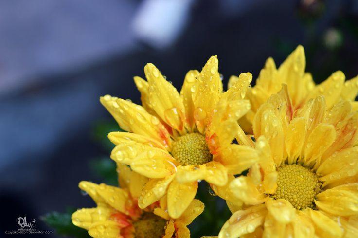 Bunga Krisan (Chrysanthemum) Nature Photography by azayaka-eizan.deviantart.com on @DeviantArt