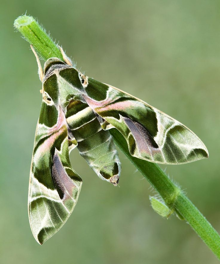 Daphnis nerii (formerly Deilephila nerii), known as the Oleander Hawk-moth, is a moth of the Sphingidae family. Daphnis nerii is a large hawk-moth found in wide areas of Africa and Asia. It is a migratory species, flying to parts of eastern and southern Europe during the summer. Daphnis nerii (Oleander Sphinx Moth or Oleander Hawk-Moth) is one of the most beautiful butterfly-like patterned moths on Earth.  http://en.wikipedia.org/wiki/Daphnis_nerii