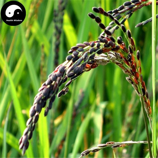 Oryza Sativa Google Search With Images Black Rice Oryza