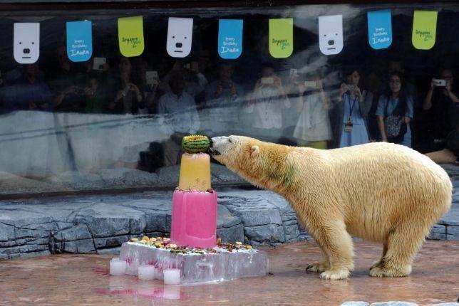 L'orso bianco Inuka compie 25 anni: per lui una torta di ghiaccio!  #singapore #orsobianco #animali #orso #ghiaccio #tortadighiaccio #torta #ccompleanno
