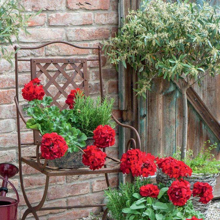 Mediterranes Flair hält mit Olivenbäumchen, Kräutern und 'Calliope Dark Red' Einzug. Die dunkelroten Blütenbälle, die eleganten Salbeiblätter und das nadelartige Laub des Rosmarins ergänzen sich fantastisch