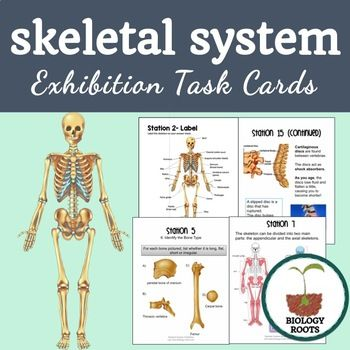 """Teaching the skeletal system can be lacking in visuals sometimes- not all schools have models of skeletons to offer, either! That is what inspired the creation of the """"Bones Exhibition Lab""""- 20 printable stations (25 total papers) that cover basic skeletal system functions, bone anatomy and function, joints, bone diseases/procedures, bone growth, and interesting bone facts.   This activity comes with an answer sheet - students seek their answers within the stations. Numbered to avoid…"""