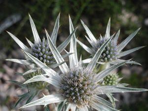 Eryngium bourgatii - Spanische Edeldistel, Mannstreu
