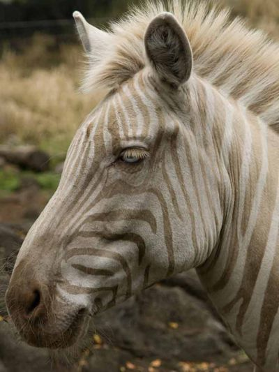 This rare zebra named Zoe was born on Sept. 16, 1998 on the Hawaiian island of Molokai. She currently lives at the Three Ring Ranch Exotic Animal Sanctuary above the town of Kailua-Kona on the Big Island of Hawaii.