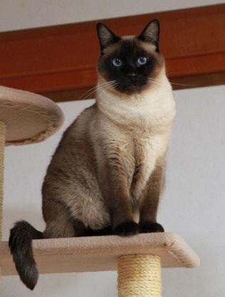 友達からシャム猫貰ったから名前考えてくれwwwwwwwwwwwwwwwwwwwwwwwwwwwwwwwwwwwwwwwwww | 猫まとめアンテナ