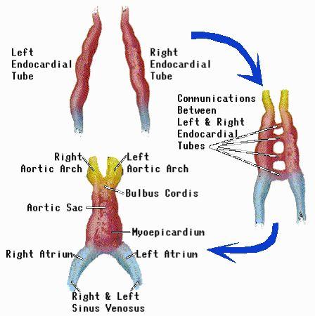 electromagnetic energy of hearts | Fetal Heart Development | A ...