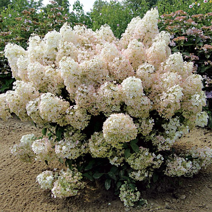 Best 25 hydrangea paniculata ideas on pinterest for Tall flowering shrubs