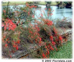 firecracker plant (russelia equisetiformis) Culture Grow in a humus rich, well drained soil and fertilize regularly. Light: Full sun or partial shade. Moisture: Water regularly and don't let the soil dry out. Hardiness: USDA Zones 9 - 12. Propagation: Easy to propagate from tip cuttings.