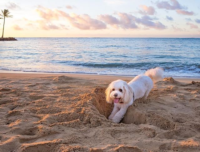 If you see a dog  busy chasing a tennis ball and digging a hole on the beach near Kahala Hotel when the sun rises, it is me - - #barkpost #cavachon #handsomedogs #cavachonclub #fujifilm #cute #doglover #dogsofhawaii #dogsofinstagram #cavachonsofinstagram #nyc #petphotographer #petphoto #studiodixphotography #dogoftheday #bestwoof #mydogiscutest #petstagram #ハワイ #ワンコ #キャバション #犬バカ部 #愛犬 #わんこなしでは生きていけません会 #cutepetclub #inumatome #cuteandepic