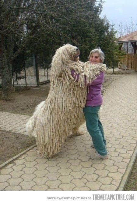 huge dog that looks like a bear wwwpixsharkcom