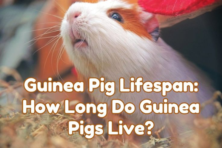 how long do guinea pigs live lifespan Guinea Pig Guides
