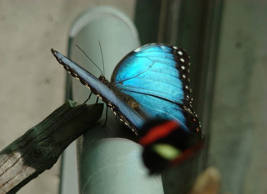 6 Iridescent Blue Butterfly Photos