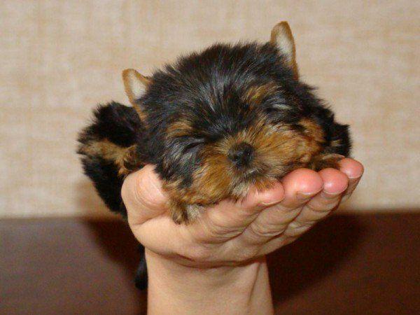 Yorkshire terrier / йоркширский терьер