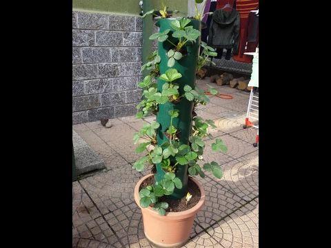 Coltivare Fragole in vaso verticale sul balcone