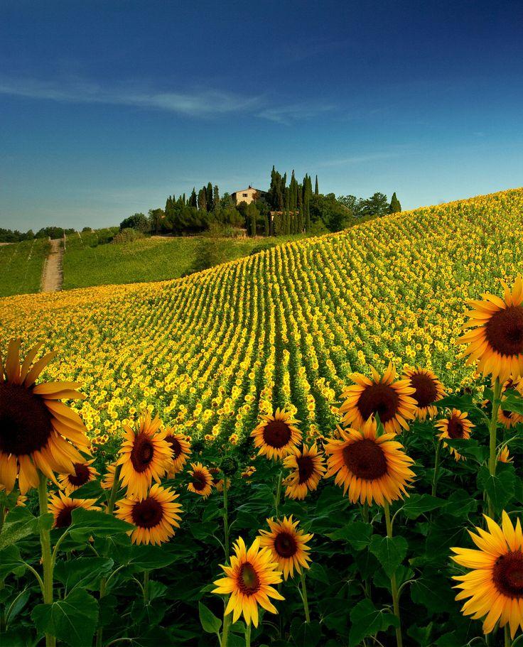 Sunflower Field near San Gimignano, Tuscany. I had found ...
