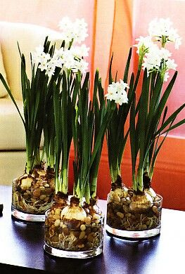 "Paperwhite Narcissus will grow happily and bloom with nothing more than water and stones or beach glass. To ""plant"" your bulbs in any our our soilless kits, begin by carefully placing a layer of stones or glass to a depth of about 2 inches in a small vase or about 4 inches in a larger vase. Next place a layer of Paperwhite bulbs close to each other, roots facing down. Put a few stones or pieces of beach glass around and between the bulbs to anchor them in the vase. Leave the tops of the…"