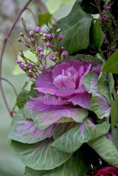 Fall Cabbage in Planter