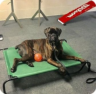 Columbus, OH Boxer. Meet Cassius, a dog for adoption