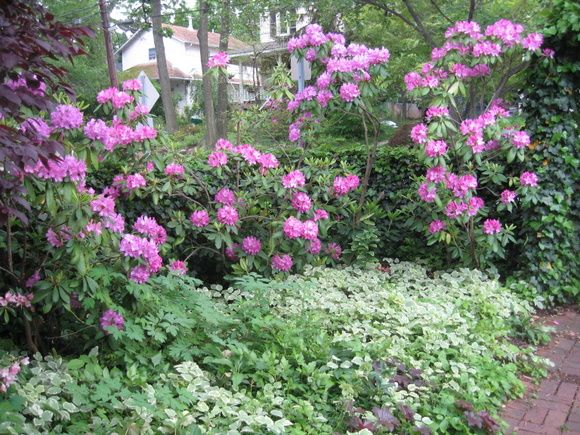 English Roseum Rhododendrons At Their Peak Behind A Skirt