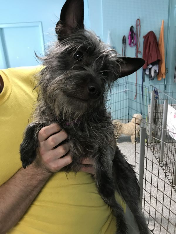 Annabelle Adoptable Dog Young Female Cairn Terrier Mix Cairn