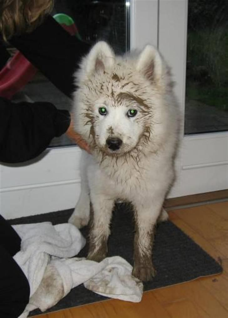 Image from http://hund.webgallerier.dk/galleri/fuldskaerm/81/404145-samojedhund-discos-holly---tirith.