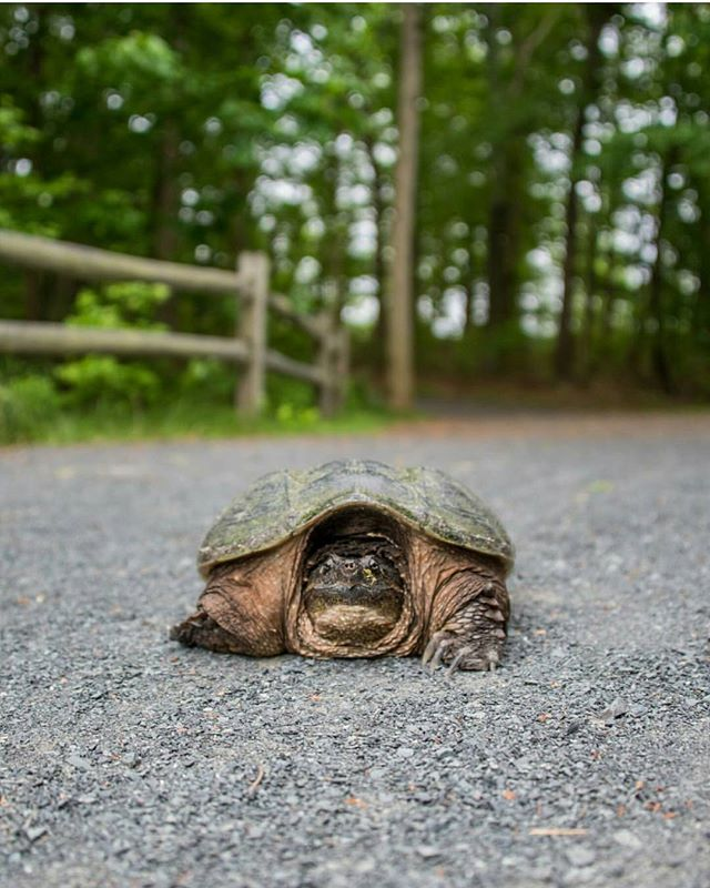 This snapping turtle says good morning!  #Regram from John Entwistle (@johnentwistle_photography) who came across this guy crossing the path in the Manasquan Reservoir.  #JSHN #JerseyShore #NewJersey #NJ #nature #wildlife #njwildlife #turtles #snappingturtle #spring #JerseyShoreLocal