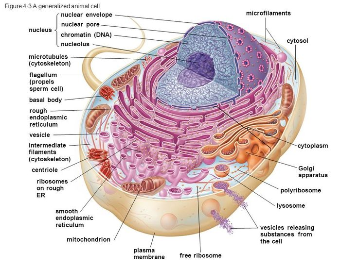 The 93 Best Cell Structures Images On Pinterest Electron
