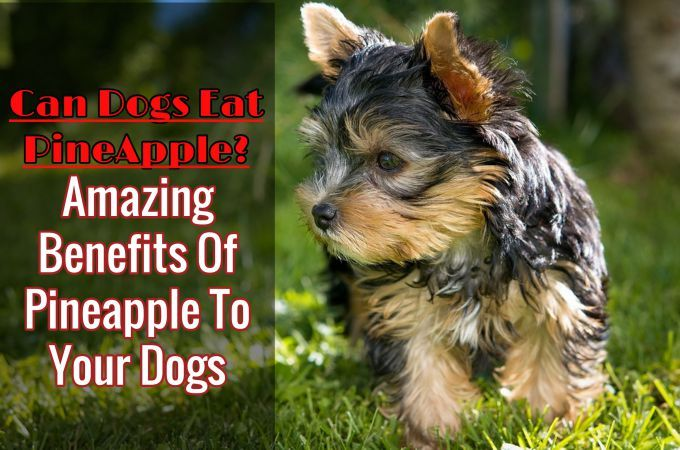 Pineapples are such a tasty treat, and you're asking yourself Can Dogs Eat Pineapples? since you want to share this fruit with your pet. Good news then, your dog can eat pineapples. They many good reasons why are pineapple safe for dogs and why they such a sweet treat for them.
